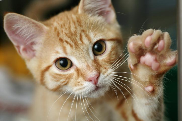 disfunción eréctil de la uña de gato